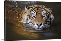 Sumatran tiger swimming