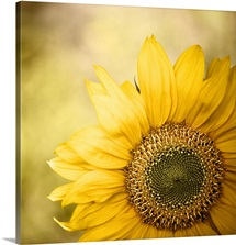 Sunflower blossom with bokeh background.
