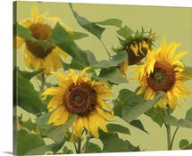 Sunflowers on pale green background.