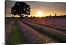 Sunset over lavender field.