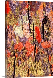 Tree bark with colorful lichen