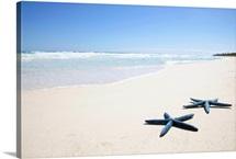 Two blue starfish at water's edge on tropical beach, Riviera Maya