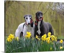 Two Greyhounds standing behind a garden of daffodils, Surrey, England