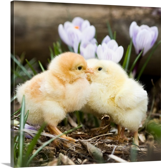 http://static.greatbigcanvas.com/images/singlecanvas_thick_none/getty-images/two-yellow-baby-chicks-kissing-in-front-of-flowers-,1132808.jpg?max=540