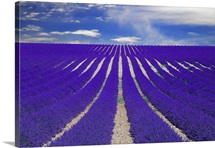 Vanishing lane of lavender