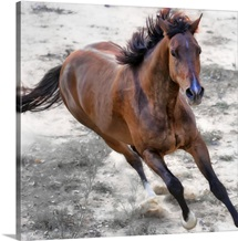 Warmblood horse galloping.