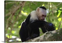 White-faced Capuchin monkey, opening fruit in tropical rainforest, Costa Rica