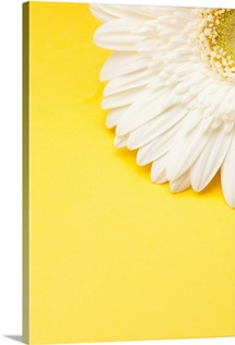 White Gerbera daisy with yellow copyspace.