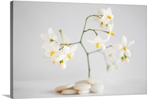 White pebbles and jasmine flowers on white background.