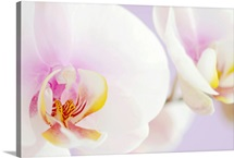 White phalaenopsis orchids, pastel lilac background, close-up.