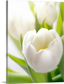 White tulip
