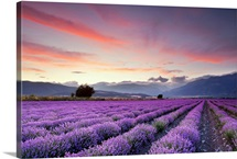Wide lavender field at sunset.