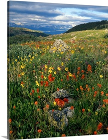 Wildflowers, Mosquito Range, San Isabel National Forest, Colorado, USA