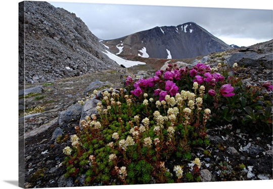 Wildflowers on Niovarupta Volcano, Valley of 10,000 Smokes, Katmai, Alaska