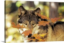 Wolf (Canis lupus) with autumn color, Canada