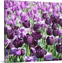 Purples II