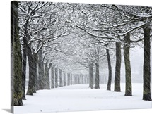 England, West Yorkshire, Halifax, Rows of trees at a park in falling snow