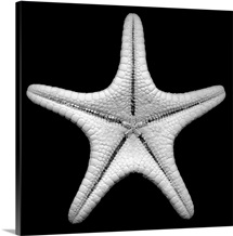 Knobby Starfish