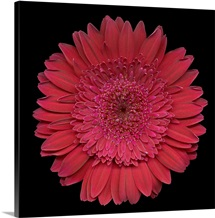 Single Pink Daisy 3