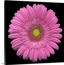 Single Pink Daisy 4
