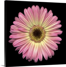 Single Pink Daisy 6