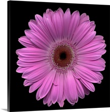 Single Pink Daisy 7