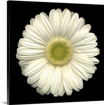 Single White Daisy 1