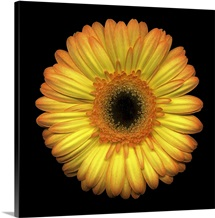 Single Yellow Daisy 1