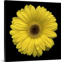Single Yellow Daisy 2