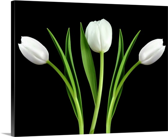 White Tulip 3