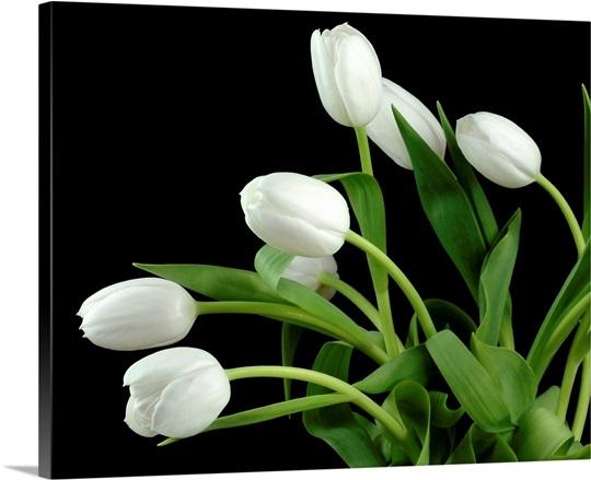 White Tulip 4