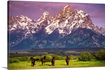 Wild Horses running, Grand Teton National Park, Wyoming