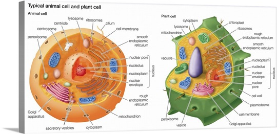 Typical Animal Cell and Plant Cell Photo Canvas Print ...