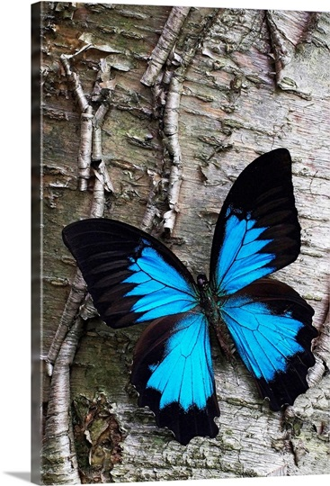 Blue Butterfly on Birch