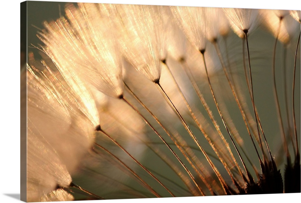 Dandelion Seed Puffs at Sunset