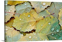 Fallen Turning Leaves after the Rain
