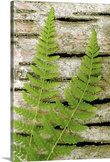Fern On Birch