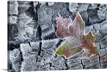 Frosted Oak Leaf on Frozen Logs