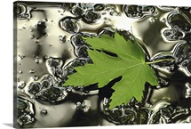 Green Maple Floating on Silver Puddle