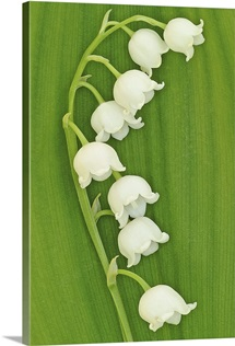Lily of the Valley on Greenery