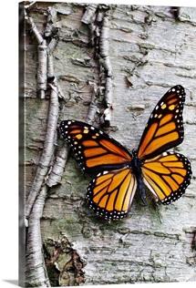 Monarch on Birch