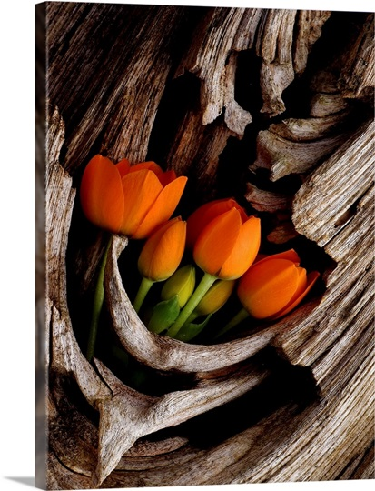 Orange Tulips Displayed in Tree Trunk