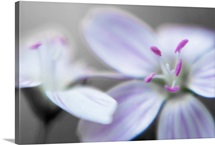 Pink Stamen on White Blossom in Soft Focus