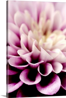 Purple Dahlia Detail