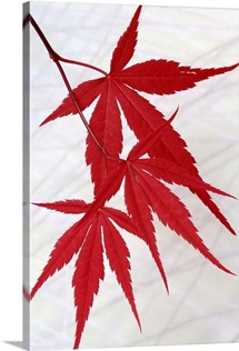 Red Japanese Maple on White