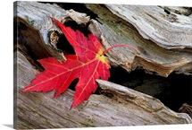 Red Maple Caught in the Mouth of a Log