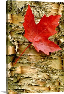 Red Maple on Peeling Birch