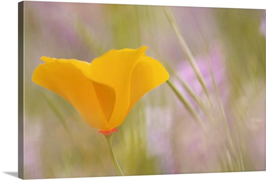 Single Orange Poppy