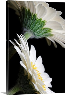 White Gerberas Against Black