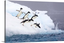 Adelie Penguins diving off iceberg